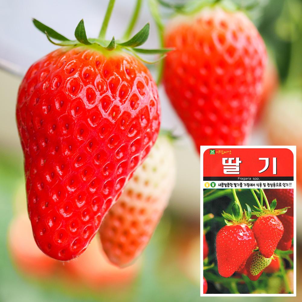 딸기 씨앗 (100립)  과일씨앗 채소씨앗 야채씨앗 씨앗 잎채소 가지과 화분재배 과일씨앗 베란다텃밭 씨앗화분 씨앗키우기 채소씨앗