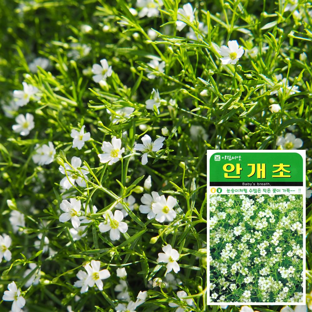 안개초 씨앗 (1000립)  꽃씨앗 허브씨앗 배추씨앗 씨앗 잎채소 가지과 화분재배 과일씨앗 베란다텃밭 씨앗화분 씨앗키우기 채소씨앗 허브씨앗 새싹씨앗