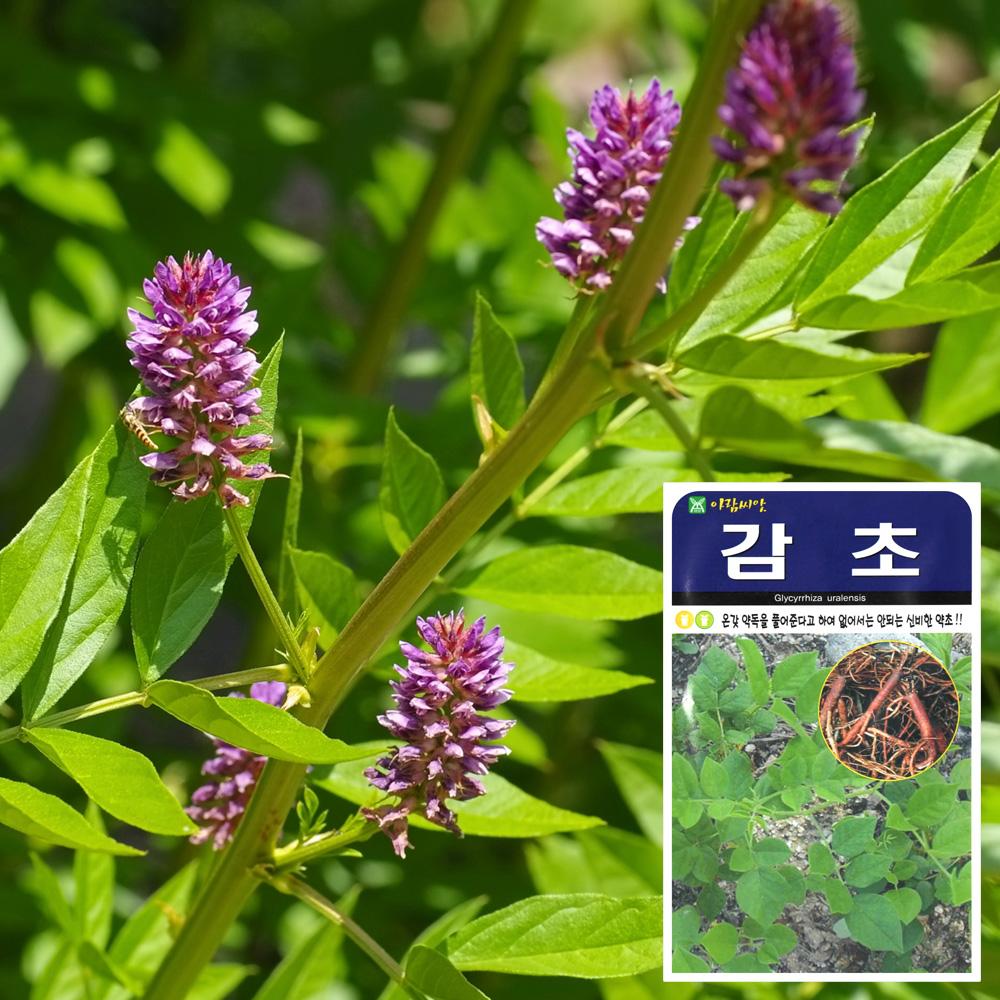 감초 씨앗 (500립) 씨앗 잎채소 가지과 화분재배 과일씨앗 베란다텃밭 씨앗화분 씨앗키우기 채소씨앗
