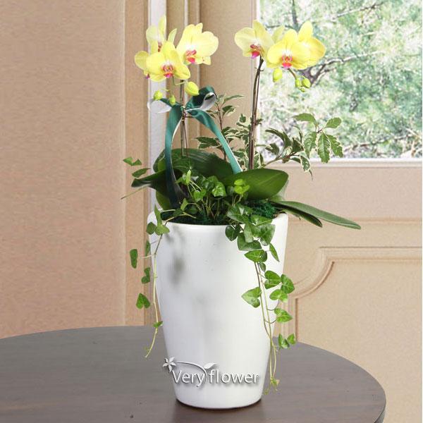 순수 노랑호접란-중급 100송이 꽃바구니 베리플라워 꽃배달 전국꽃배달 꽃배달서비스