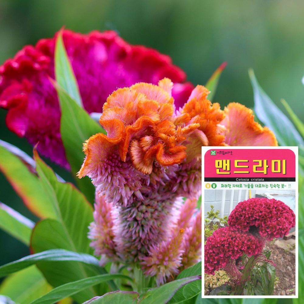 맨드라미 씨앗 (1000립)  꽃씨앗 해바라기꽃씨앗 씨앗 잎채소 꿀풀과 화분재배 베란다텃밭 씨앗화분 씨앗키우기 채소씨앗 허브씨앗 꽃씨앗 사루비아