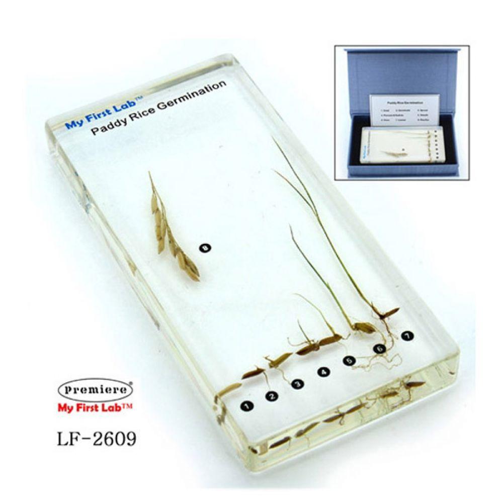 LF-2609 성장표본 벼 학습교구 과학실습 과학 학습교구 과학실험 과학실습 과학교구 과학