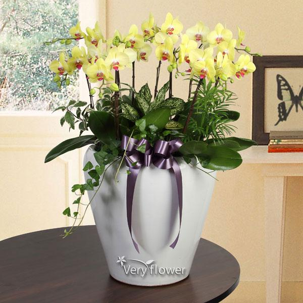 행복한 노랑호접란-중급 100송이 꽃바구니 베리플라워 꽃배달 전국꽃배달 꽃배달서비스