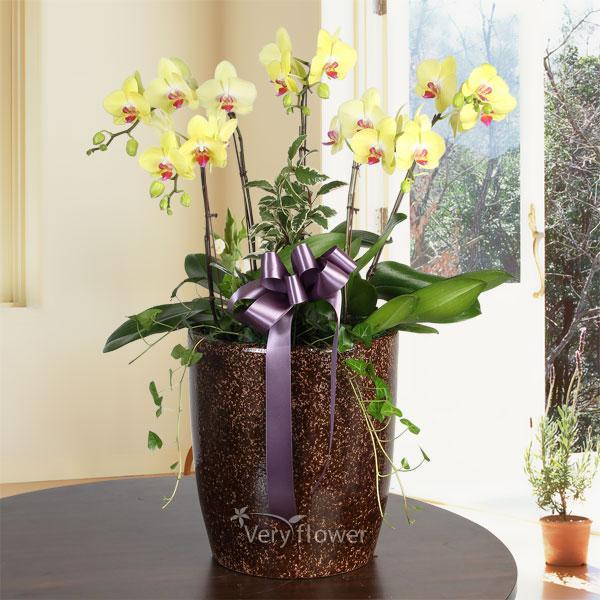 우아한 노랑호접란-중급 100송이 꽃바구니 베리플라워 꽃배달 전국꽃배달 꽃배달서비스